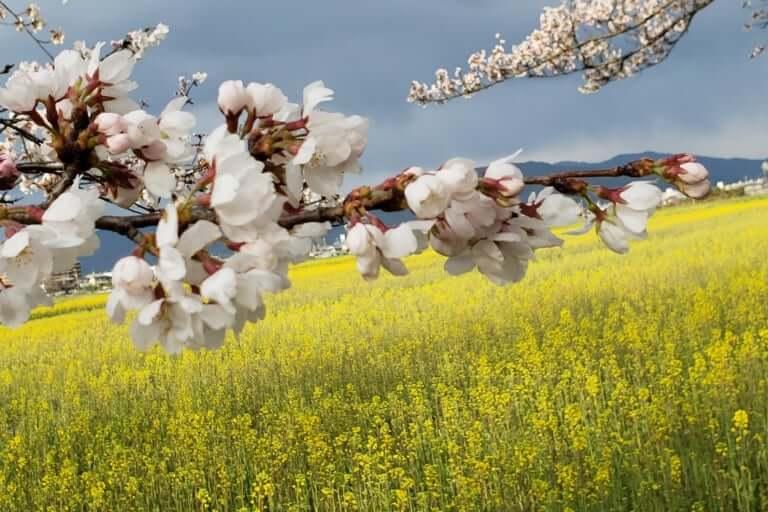 【橿原市】藤原宮跡の桜が咲き始めました!菜の花とのコラボレーションをお楽しみください♪